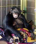 Chimpanzee_Attack.sff.standalone.prod_affiliate.56