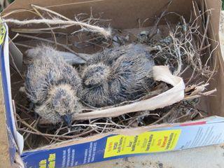 BabyBirds1