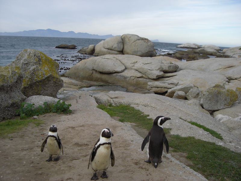Capepenguins