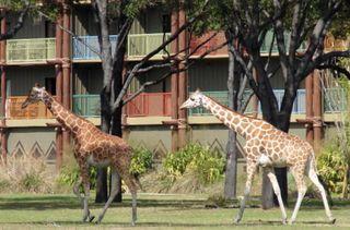Disney giraffes