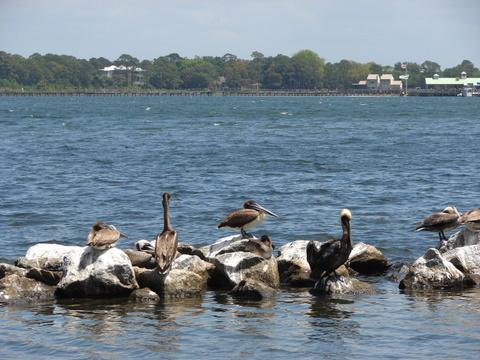 Andrews pelican.jpg