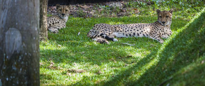 Nz-cheetah-pair-1