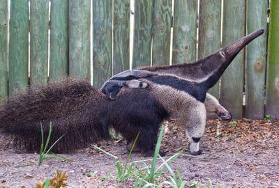 Baby Anteater at Busch Gardens Tampa Bay1