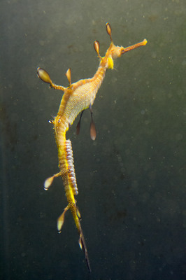 20120723_Weedy Sea Dragon Babies_07