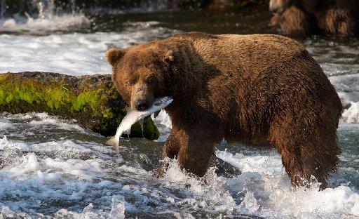 Alaskabear