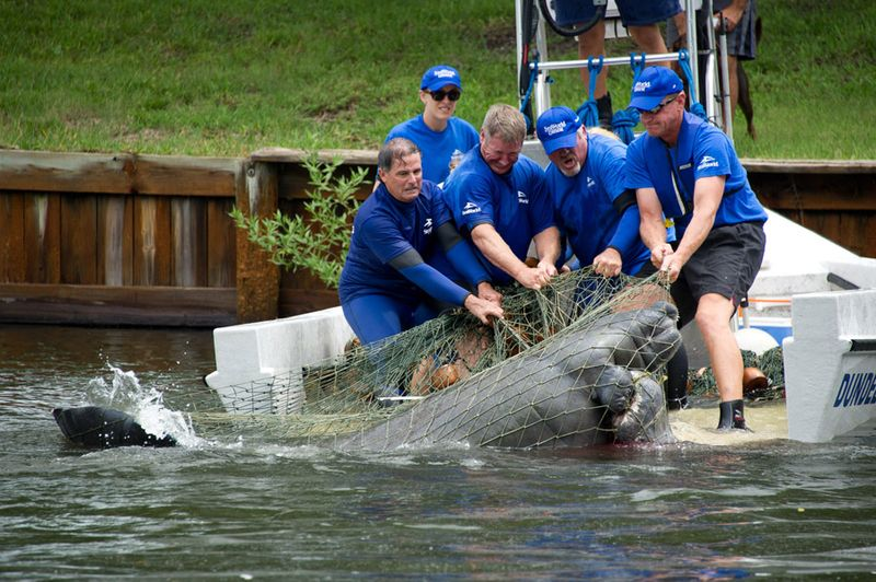 Manatee rescue small
