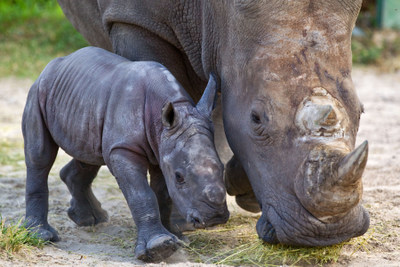 BG_Baby Rhino_01