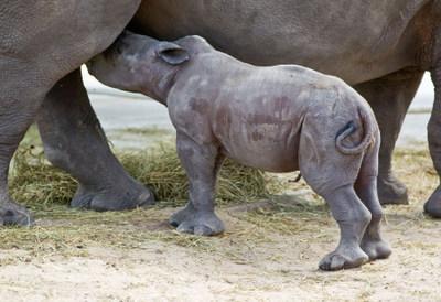 BG_Baby Rhino_05