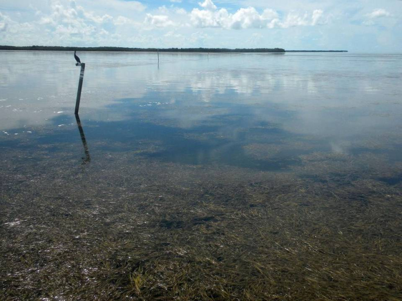 Florida Bay seagrass
