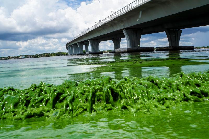 St. lucie algae