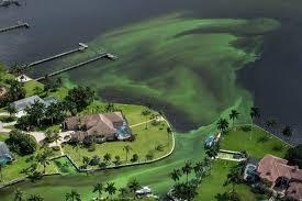 Algae Miami Herald