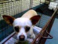 Chihuahua00_pets_pro_ho