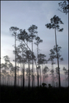 Everglades_pinelandsthumb