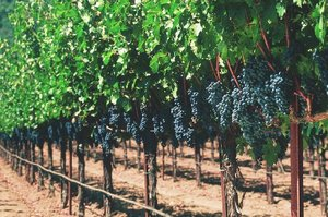 Grapevines_2